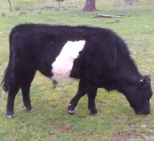 Belted Galloway Bull Calf for sale Taylors Flat Boorowa Area Preview