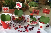 Adorable Valentine Succulents Blacktown Blacktown Area Preview