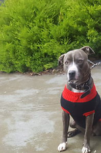 Blue american staffy(pure) Jacana Hume Area Preview