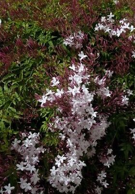 5 x Pianta di Gelsomino Jasminum Polyanthum Rampicante Gelsomino vaso 7