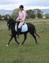 """Dante"" 12.2 H 3YO Welsh Riding Pony Bungendore Queanbeyan Area Preview"