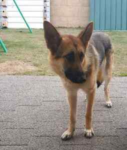 Quick sale German shepherd Ellenbrook Swan Area Preview