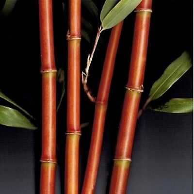 Red Bamboo - 1 Red Bamboo Rhizome/Root 'Temple' 'Palm' Narihira' Semiarundinaria fastuosa