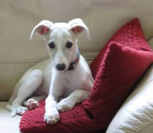 looking for a whippet x lab puppy or other cross Carlton North Melbourne City Preview