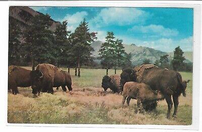 VTG Post Card Buffalo or Bison That Roamed the Old West