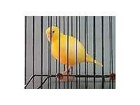 Fyfe Canaries