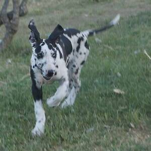 Great Dane female pup Esperance Esperance Area Preview