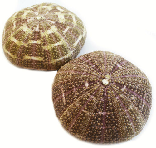 """Two Large Alfonso Gator Sea Urchins 3-4"""" Coastal Beach Cottage Crafts Airplants"""