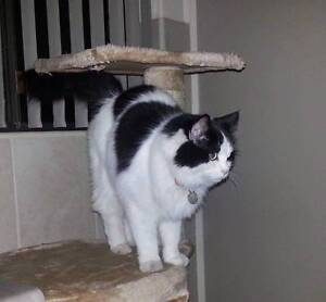 LOST: Black and White Cat Warwick Southern Downs Preview