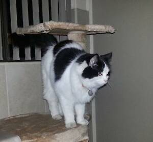 LOST: Black and White Ragdoll Warwick Joondalup Area Preview