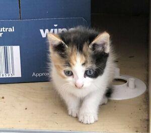 Kittens for sale 6 wks okd