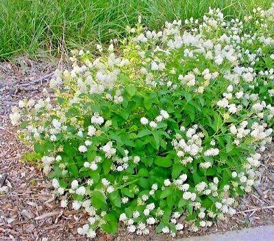 50+NEW JERSEY TEA Seed Organic American Native Shrub/Bush Shade Drought -