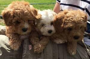 Cavoodle puppies Bendigo Bendigo City Preview
