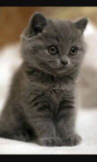 Wanted: Blue grey kitten Wanted