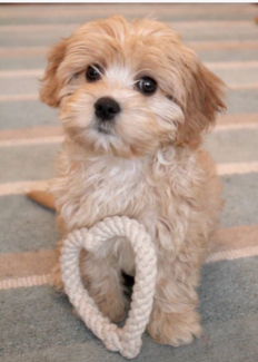 WANTED: Mini Cavoodle or Spoodle
