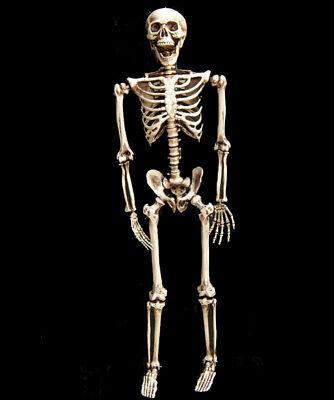 Skelett Halloween Lebensgroß 160cm Beweglich / Lehrmodell / Anatomie / Deko