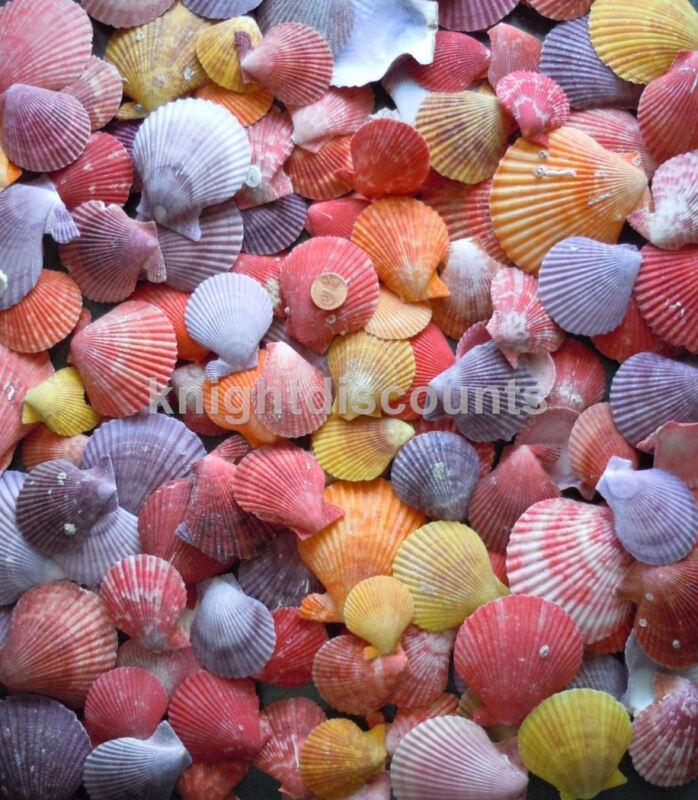 Sea Shells Pecten Colorfull (Approx 60) Real Genuine Nobilis Seashell Bulk Lot