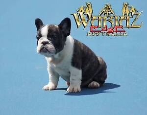 FRENCH BULLDOG PUPPIES...BLUE CARRIERS... PEDIGREE PUREBRED Anna Bay Port Stephens Area Preview