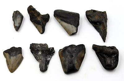 MEGALODON TEETH Lot of 8 Fossils w/8 info cards SHARK #15711 18o