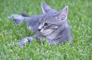 Gumtree Sa Cats And Kittens