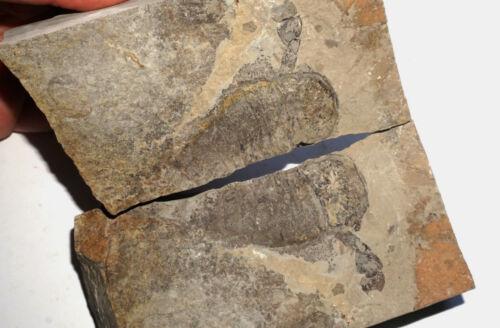 Silurian sea scorpion Eurypterus (Balteurypterus) from Ukraine fossil