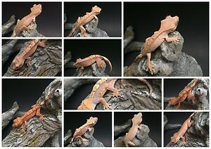 Crested geckos *great prices*