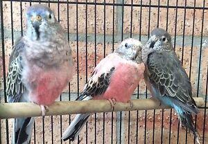 Range of birds Bungendore Queanbeyan Area Preview