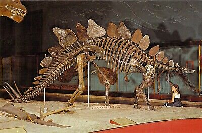 STEGOSAURUS DINOSAUR Skeleton American Museum of natural History 6x9 postcard