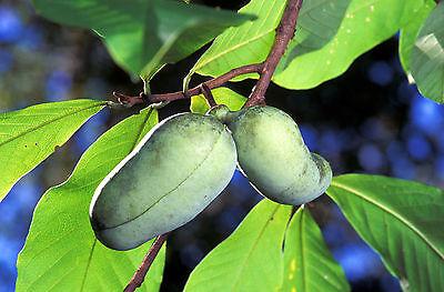 5 PAW PAW FRUIT TREE Indian Banana Asimina Triloba Flower Seeds *Comb S/H + Gift