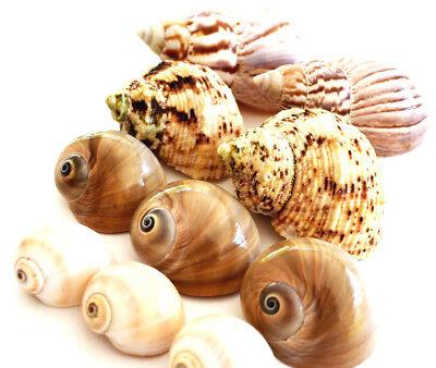 Hermit Crab Shells Shell - 10 Hermit Crab Changing Shell Set Medium Size Land Snail, Moon Shells, Turbo.
