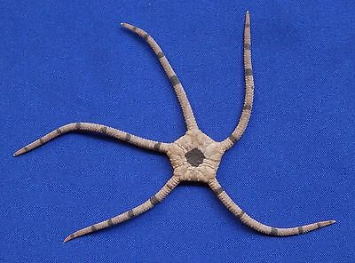 02882 Brown banded Brittle star- Ophiolepis superba, 72.5 mm