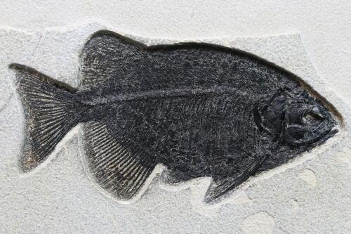 "Superb Fossil Fish 10.3"" Phareodus testis Green River FM Wyoming WY COA 10590"