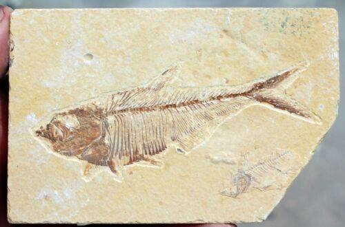 """Diplomystus dentatus  • 4.0"""" Fossil Fish w/Poop"""