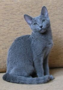 Looking for Russian blue breeder or owner