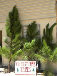 Scout Xmas Trees for sale Nundah Brisbane North East Preview