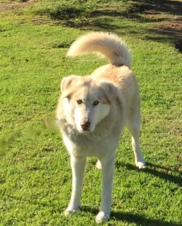Maremma x Malamute looking for new home
