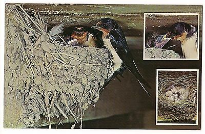 BARN SWALLOW BIRDS 3 Views Mud Nest Feeding Chicks EGGS Insets Farms  Postcard