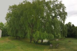 Weeping Willow Trees For Sale