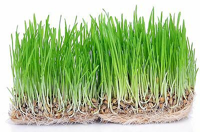 Wheat Grass Seeds Organic for Humans Pets Cats Dogs Rabbits Juice Drink 500+