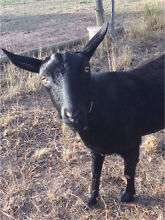 Goats - 2 female Mylor Adelaide Hills Preview