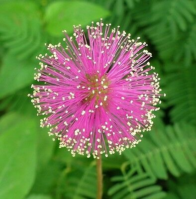 50 sensitive plant seeds Mimosa Pudica Fun * easy grow * CombSH  D25