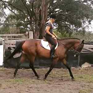 Rachel 16hh 9yrs thoroughbred mare Rainbow Flat Greater Taree Area Preview