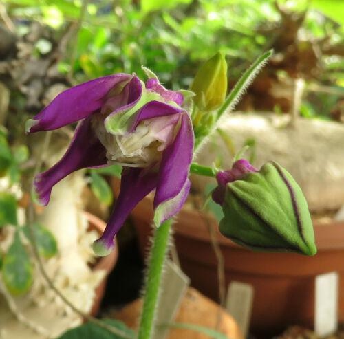 Pentagonanthus grandiflorus ssp.glabrescens,Caudex,Euphorbia,Bulb