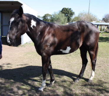 Paint x stock horse filly  Lochinvar Maitland Area Preview