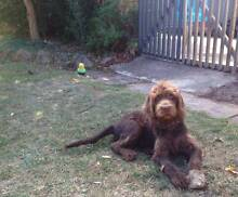 Chocolate Labradoodle 5 months old, with a kennel and dog cage Downer North Canberra Preview