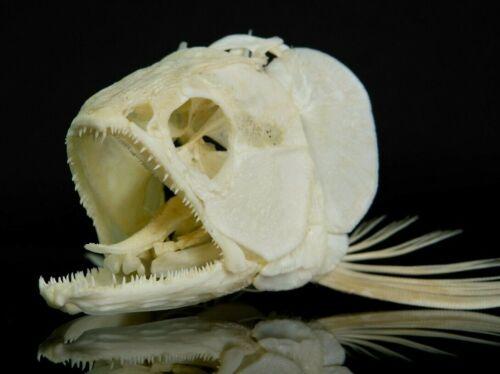 Real AROWANA skull, Fish Skeleton, Fish Taxidermy