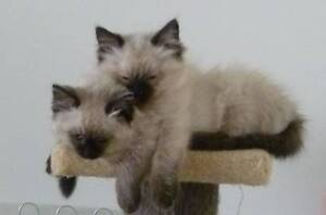 RAGDOLL kittens FOR SALE by registered breeder Wonthaggi Bass Coast Preview