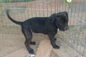 Staffy X Boxer pups 8 weeks Morangup Toodyay Area Preview