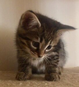 Kitten 7 wks Riverton Canning Area Preview