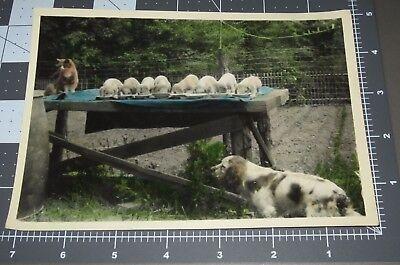 Cat 8 Puppies Bird DOG Spaniel Feeding BREED PUPPY Pet 1930's Vintage Snapshot